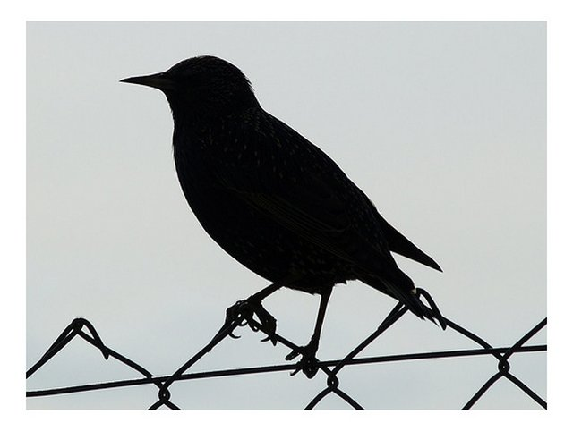 star sturnus vulgaris silhouette blog